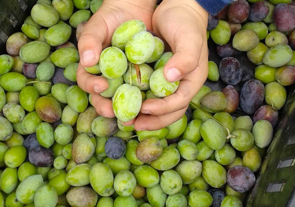 olive-raccolte.jpg